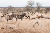 Zèbres à côté d'impalas dans la savane. - 242431792