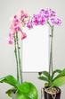 orchidées sur verre dépoli