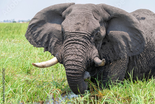 großer afrikanischer Elefant, stellt seine Ohren an und frisst, Okavango Delta, Botswana