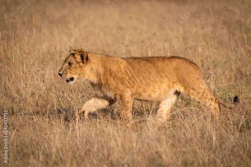 Young male lion in profile crosses savannah