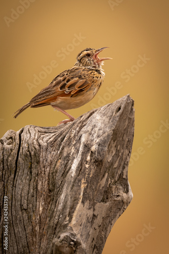 Zitting cisticola calling on dead tree stump