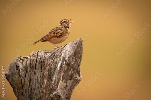 Zitting cisticola on stump with open beak