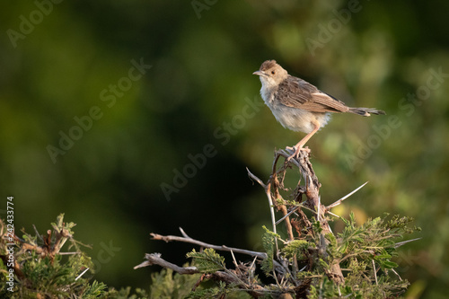 Zitting cisticola perched in whistling thorn tree