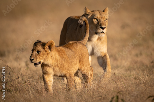 Young male lion crosses grass with lioness