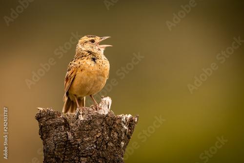 Zitting cisticola sings on dead tree stump
