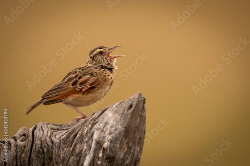 Zitting cisticola with open beak on stump