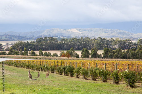obraz lub plakat Domaine Chandon Vineyard in Victoria, Australia