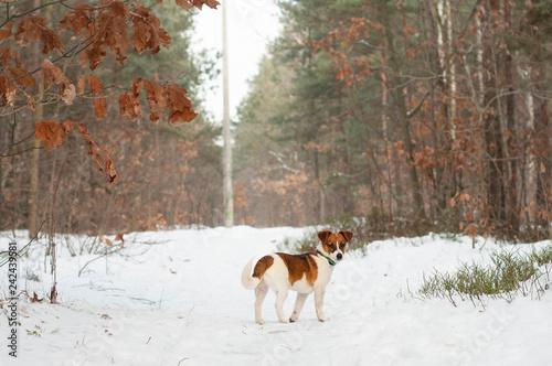 obraz PCV zimowy spacer z psem