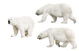 three isolated polar bears - 242444587