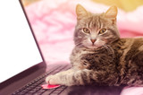 Beautiful gray tabby cat with a laptop with a heart. Funny pet. Pink background. Valentine's Day and love. Selective focus - 242445147