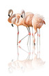 four flamingo with reflection