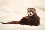 Relaxing funny ferret portrait in studio on light background - 242454714