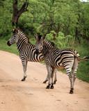 Fototapeta Fototapeta z zebrą - Zwei Zebras auf Wanderschaft © Jonas
