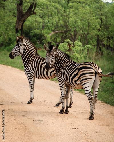 Zwei Zebras auf Wanderschaft - 242458976