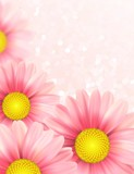 Background with pink daisy flowers. Vector illustration