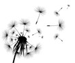 Silhouette of a flowering dandelion
