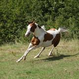 Beautiful horse running on pasturage - 242476124