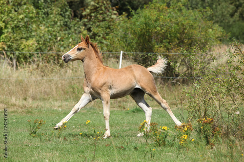 Running foal on pasturage