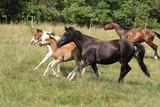 Batch of horses running on pasturage - 242476301