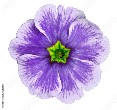 purple violet flower isolated on white background. For design. Close-up. Nature.