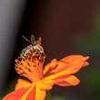 Leinwanddruck Bild - Bee on the flower