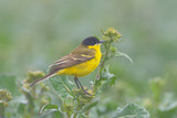 Yellow Wagtail in Springtime - 242488535