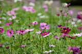Fototapeta Kosmos - Pink cosmos flowers © pikumin