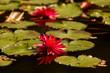 lotos woda sadzawka
