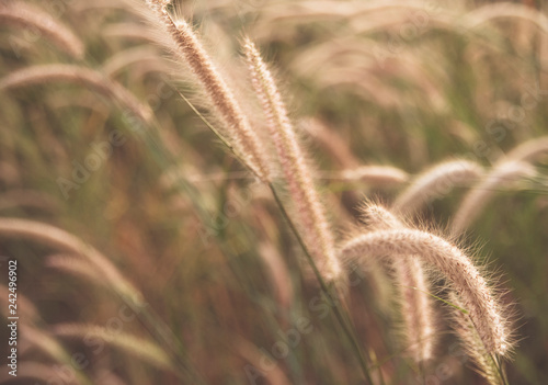 Grass flowers with soft light morning background
