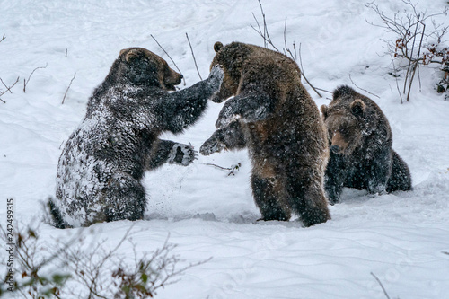 brown bears fighting in the snow