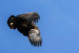 Young Bald Eagle - 242500562