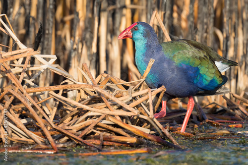 Purple Swamphen walking in shallow water to search for food on  cold morning