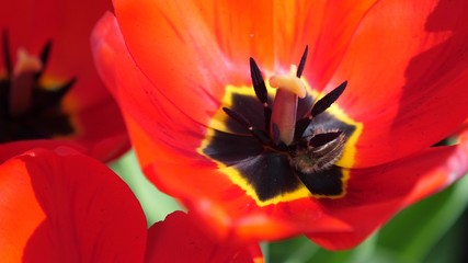Bee collects nectar in beautiful red flower. Garden bee works in poppy. Close-up.