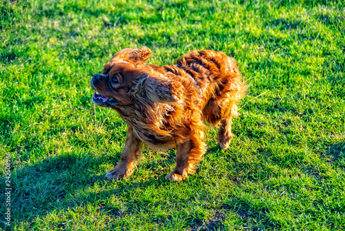 Cavalier King Charles Spaniel plays in the meadow