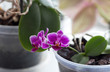 home Orchid flowers