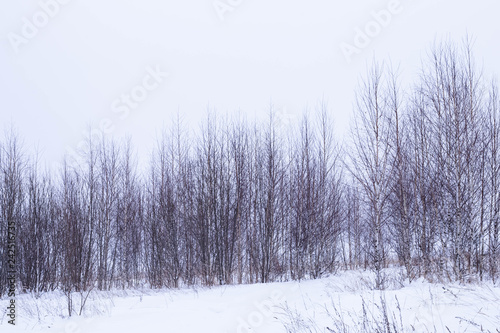 Young birches shot in winter in cloudy weather - 242516735