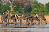 A straight line of Zebras with heads down in unison drinking from a waterhole in Hwange National Park, Zimbabwe, Southern Africa
