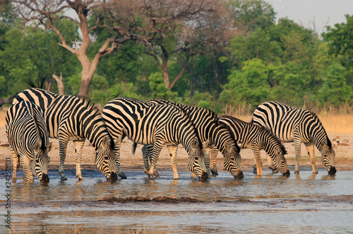 A straight line of Zebras with heads down in unison drinking from a waterhole in Hwange National Park, Zimbabwe, Southern Africa - 242518131