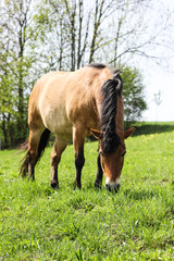 horse grazing on the meadow, brown elegance