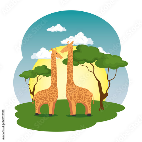 cute giraffes couple in the field scene