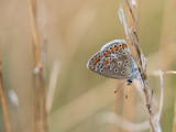 The common blue butterfly ( Polyommatus icarus )female sitting on a dry grass