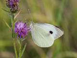The large white butterfly ( Pieris brassicae ) resting on a blooming thistle