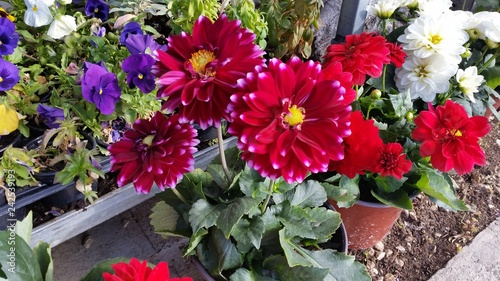 Foto Murales The beautiful Dahlia flower in garden