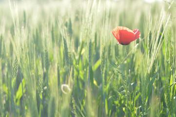 Poppy in the wheat field