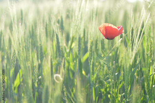 Poppy in the wheat field - 242541101