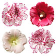 Mallow and carnation flowers isolated on white background