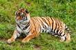Tigre de bengala rallado verde felino en la maleza gato grande