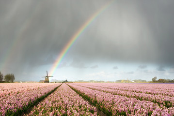 Rainbow over windmill and flower fields