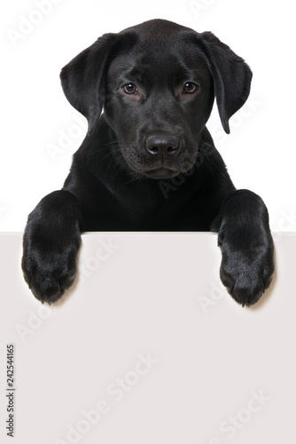 mata magnetyczna Labrador retriever puppy looking over a wall