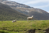 A ewe with lamb on a grassy ridge, with high, forested mountains in the background. Central Otago, New Zealand. - 242546798